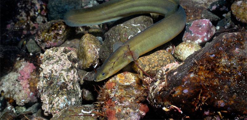 Europeisk ål fra Hardanger. Foto: Erling Svensen
